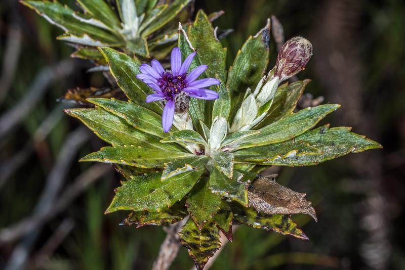 Chatham Island aster / hanga-tare (Olearia semidentata). Rangaika Scenic Reserve, Chatham Island.