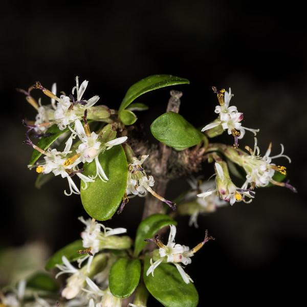 Twiggy tree daisy (Olearia virgata). Dunedin Botanic Garden.