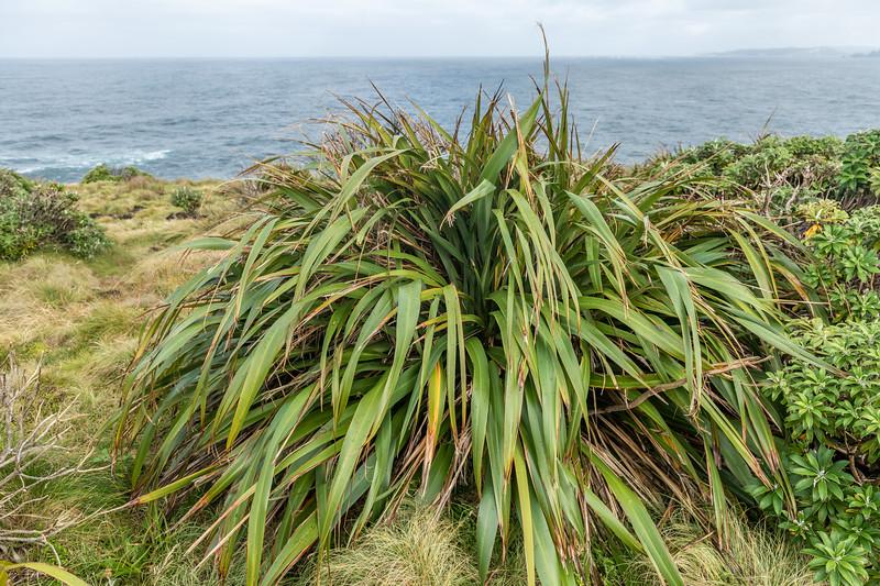 New Zealand flax (Phormium tenax). Puysegur Point, Fiordland National Park.
