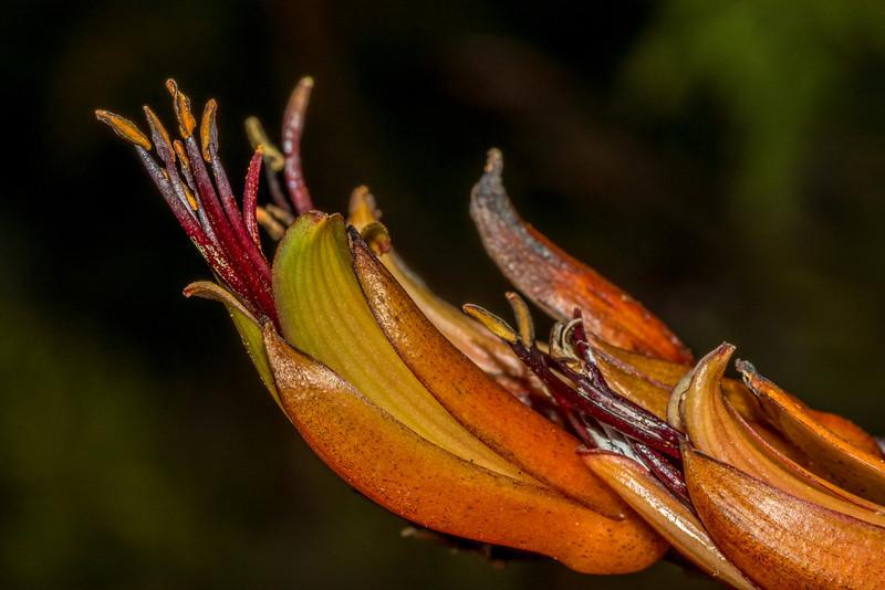 Flax / harakeke (Phormium tenax). Mount Fyffe, Kaikoura