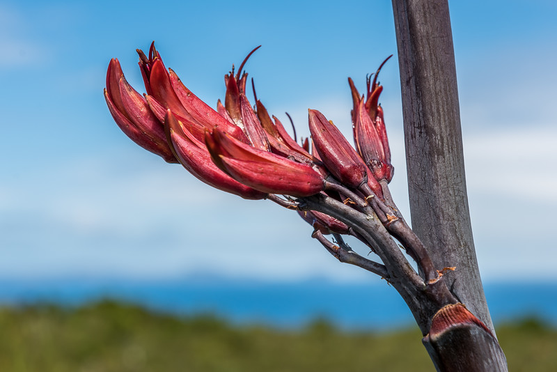 Flax / harakeke (Phormium tenax). Rangaika Scenic Reserve, Chatham Island.