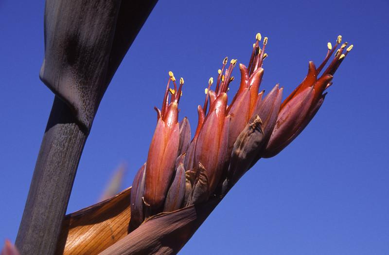 New Zealand flax (Phormium tenax). Boulder Beach, Otago Peninsula