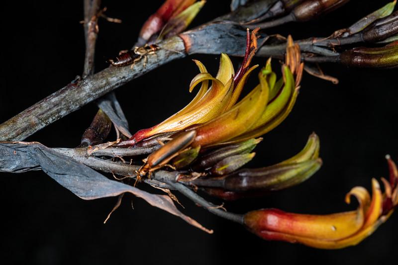 Flax / harakeke (Phormium tenax). Picton marina, Marlborough.
