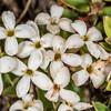 Pimelea nitens subsp. nitens. Mount Arthur, Kahurangi National Park.