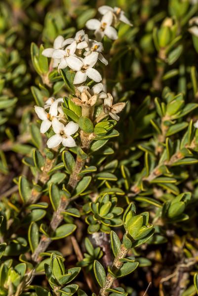 Mountain pinātoro (Pimelea oreophila). Sealy Range, Aoraki/Mount Cook National Park.