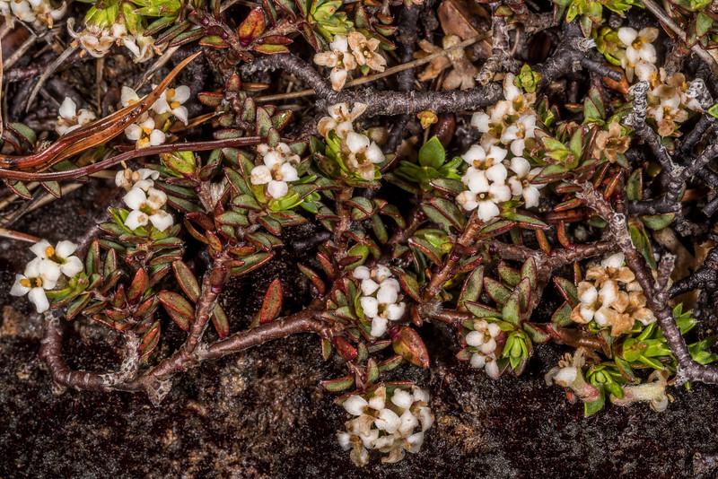 Mountain pinātoro (Pimelea oreophila). Mount Luxmore, Fiordland National Park.