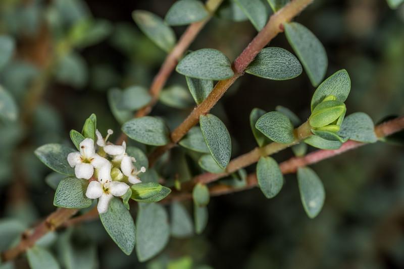 Pinātoro (Pimelea urvilleana). Dunedin Botanic Garden.