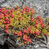 Prickly mingimingi (Leptecophylla juniperina). Three Pointer, Heaphy Track, Kahurangi National Park.