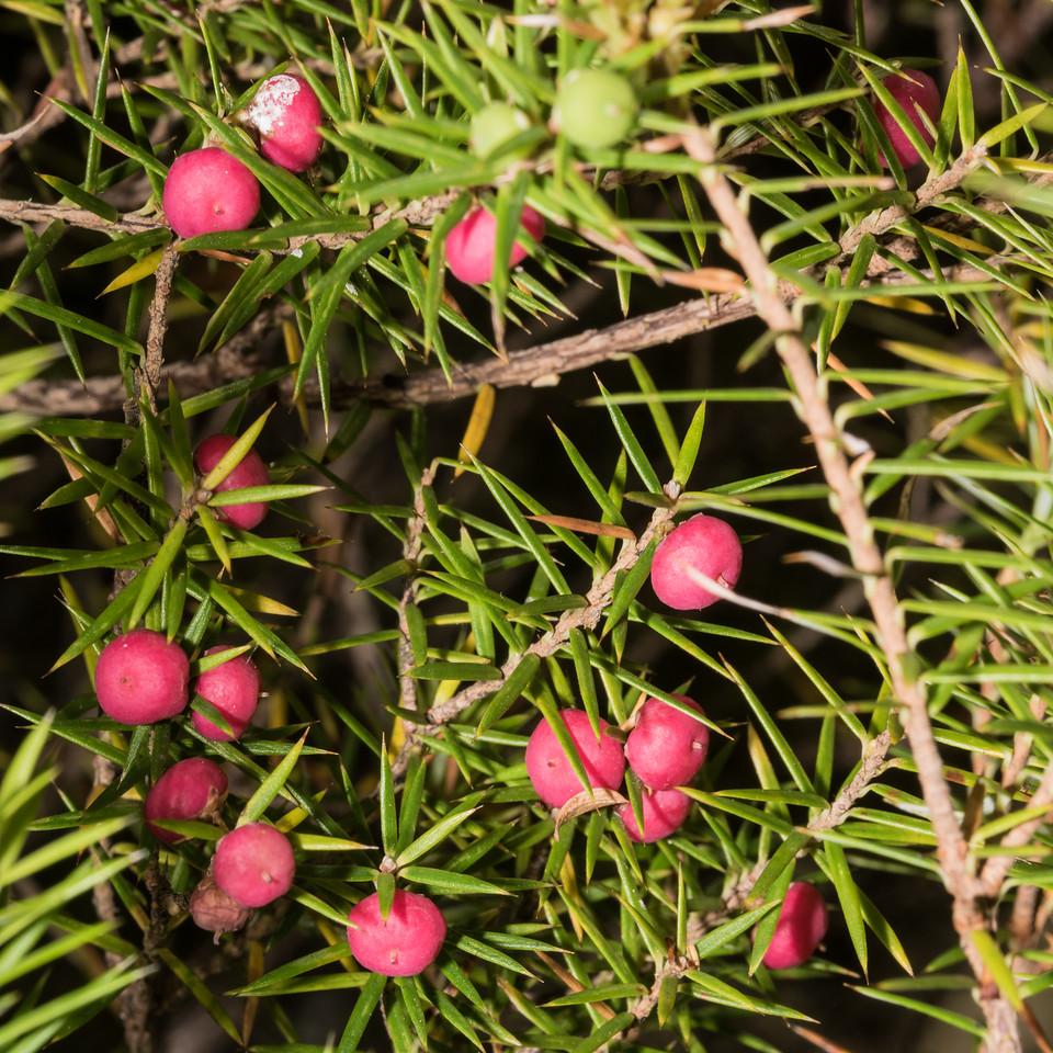 Prickly mingimingi (Leptecophylla juniperina). Rainbow Reach to Control Gates, Kepler Track, Fiordland National Park.