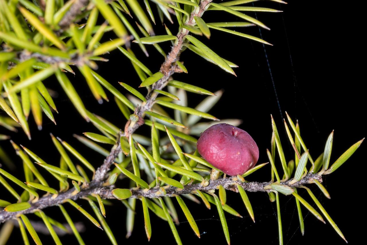 Prickly mingimingi (Leptecophylla juniperina). Tonga Quarry to Bark Bay, Abel Tasman National Park.
