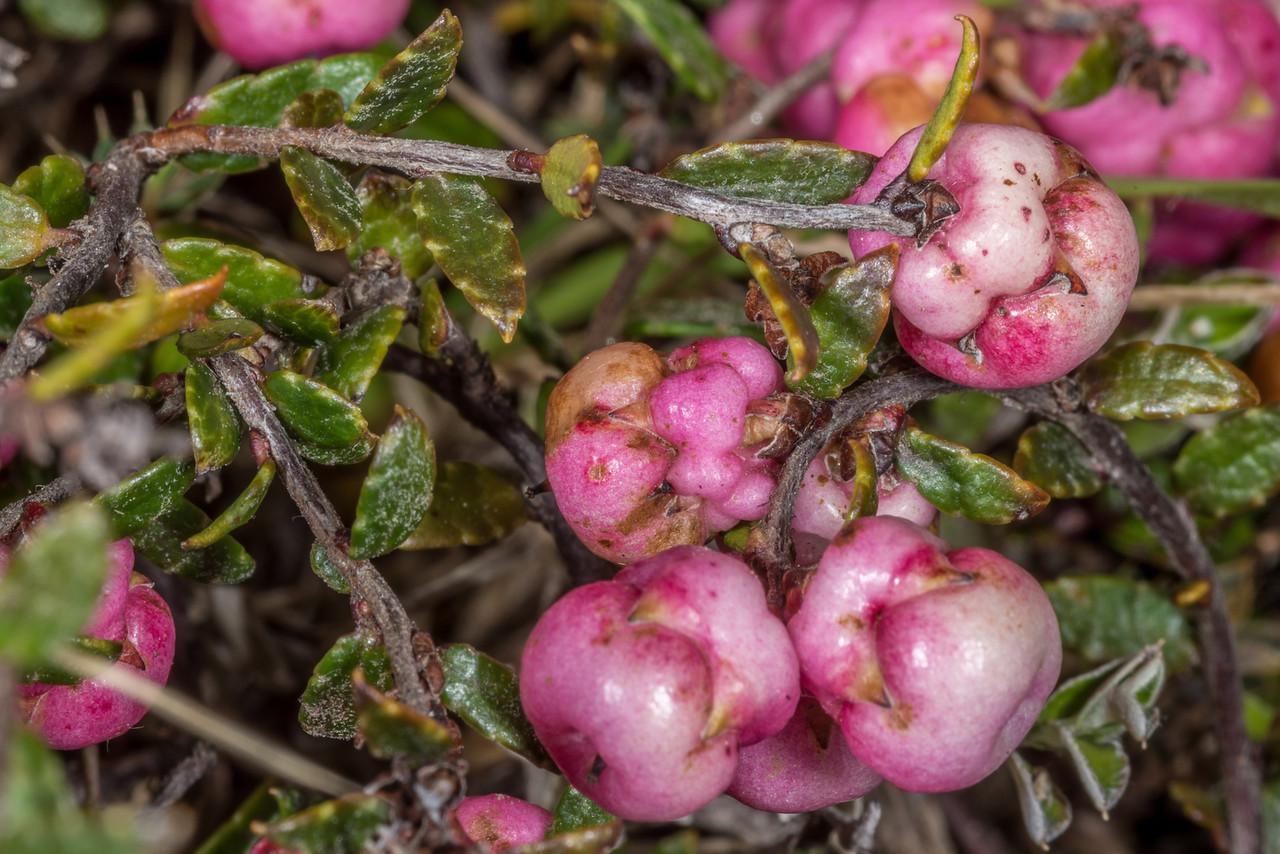 Prostrate snowberry (Gaultheria macrostigma). Rock and Pillar Range