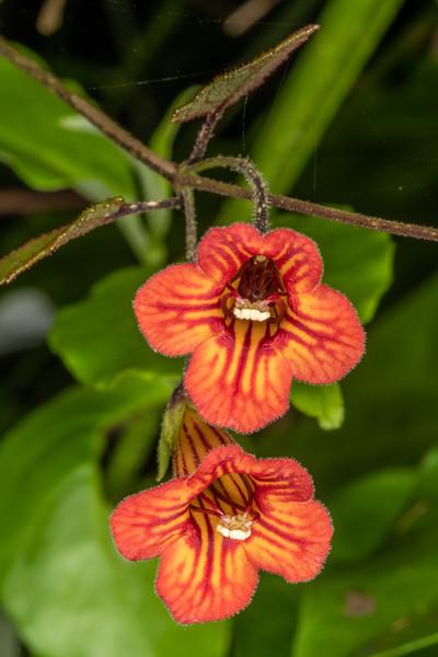 Taurepo / New Zealand gloxinia (Rhabdothamnus solandri). Sledge Track, Palmerston North.