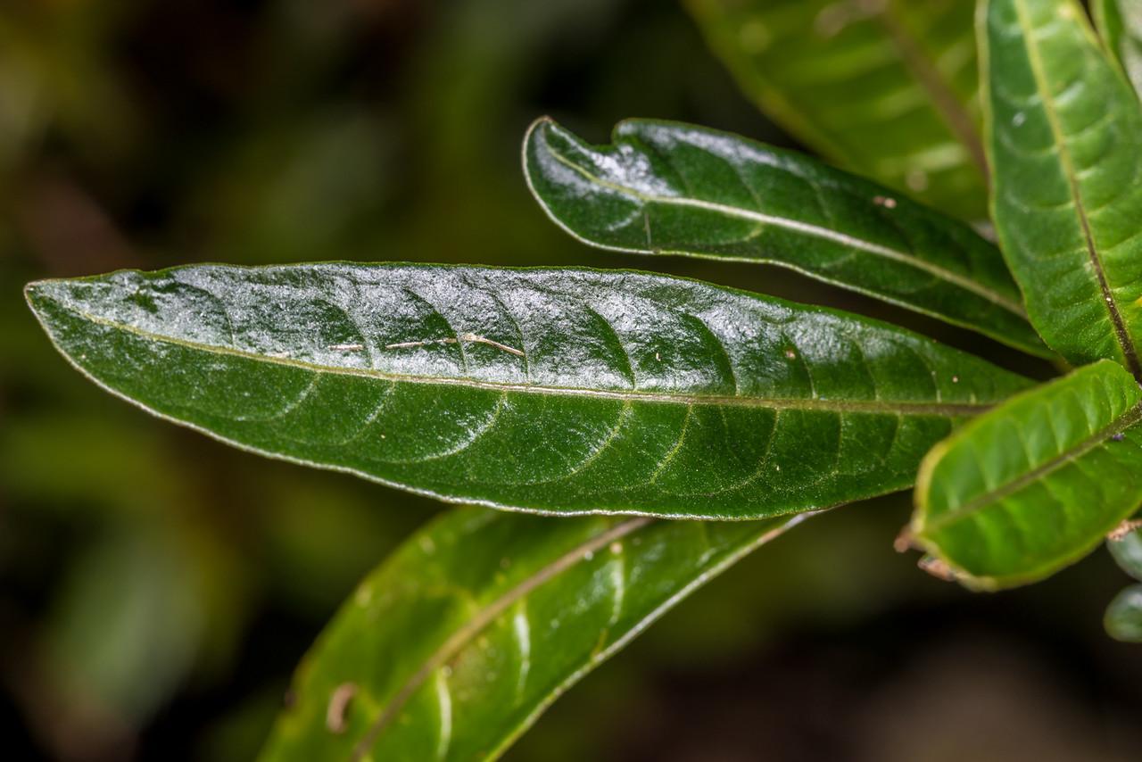 Poroporo (Solanum aviculare). Whariwharangi Bay, Abel Tasman National Park.