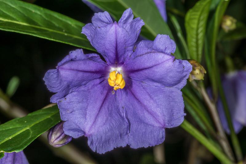 Poroporo (Solanum laciniatum). Opoho, Dunedin