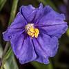 Poroporo (Solanum laciniatum). Tomahawk Track, Dunedin.