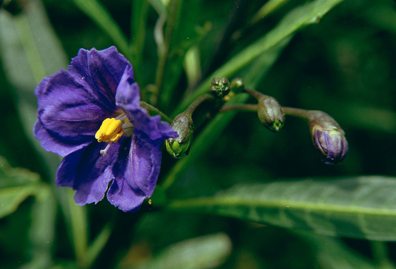 Poroporo (Solanum laciniatum). Boulder Beach, Otago Peninsula