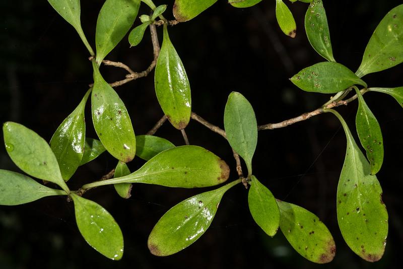 Stinkwood / hūpiro (Coprosma foetidissima). Old Coach Road, Tahakopa Bay, Catlins