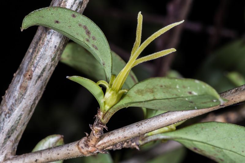 Stinkwood / hūpiro (Coprosma foetidissima). Evans Ridge, Abel Tasman National Park.
