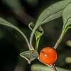 Stinkwood / hūpiro (Coprosma foetidissima). Lake Wilkie, Catlins