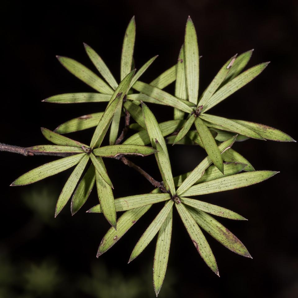 Tall mingimingi (Leucopogon fasciculatus). Panekiri Range to Waiopaoa Hut, Lake Waikaremoana Track, Te Urewera National Park.