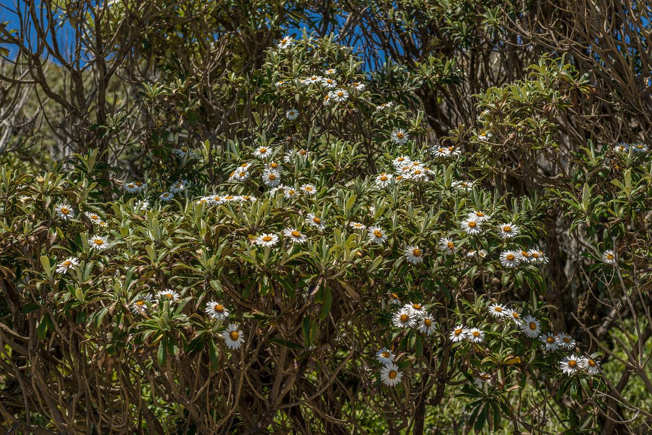 Olearia oporina / Tētēaweka. Transit Beach, Fiordland