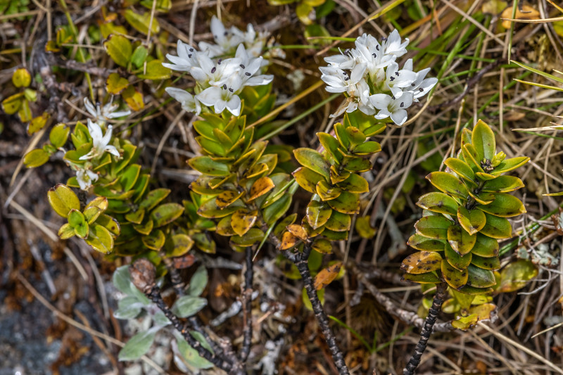 Hebe (Veronica canterburiensis). Buckland Peaks, Paparoa Range.