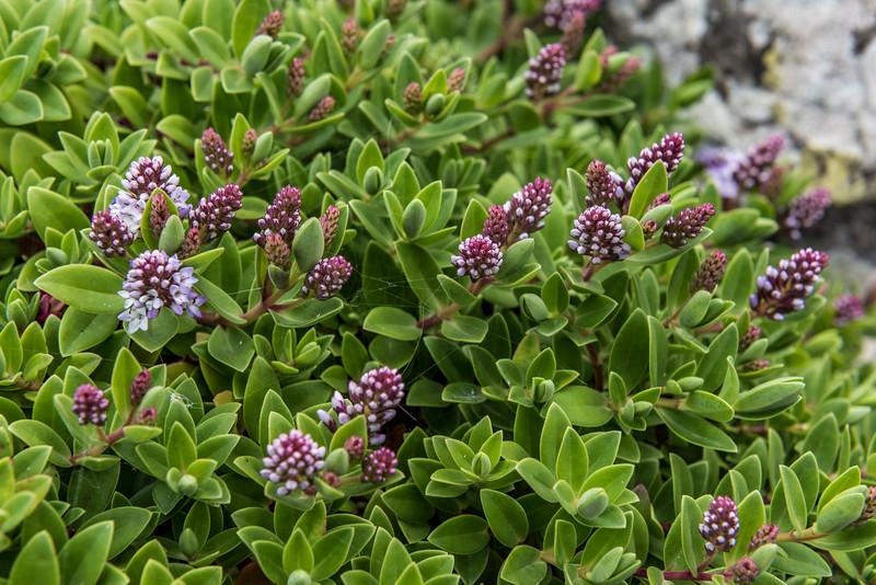 Chatham Island koromiko (Veronica chathamica). Ohira Bay, Chatham Island.