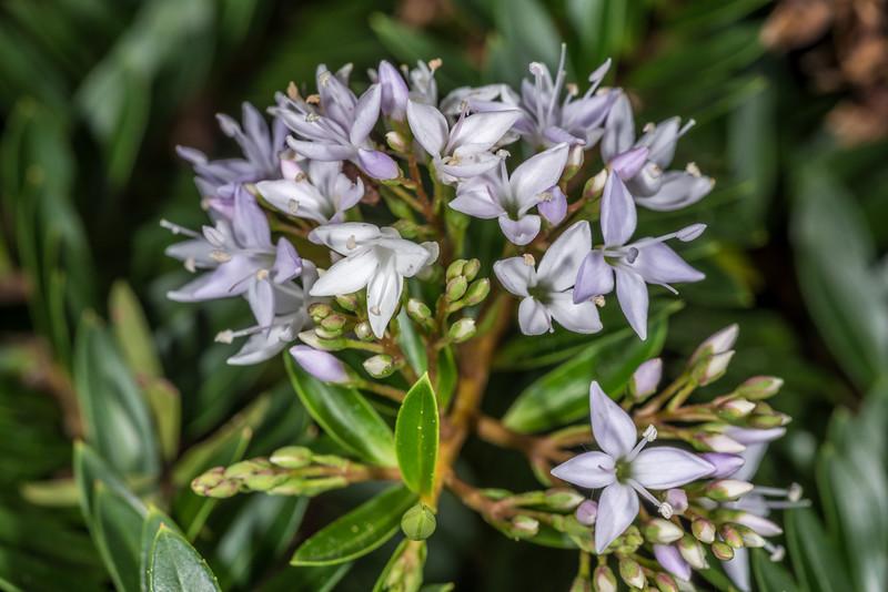 Veronica diosmifolia (cultivated). Opoho, Dunedin.