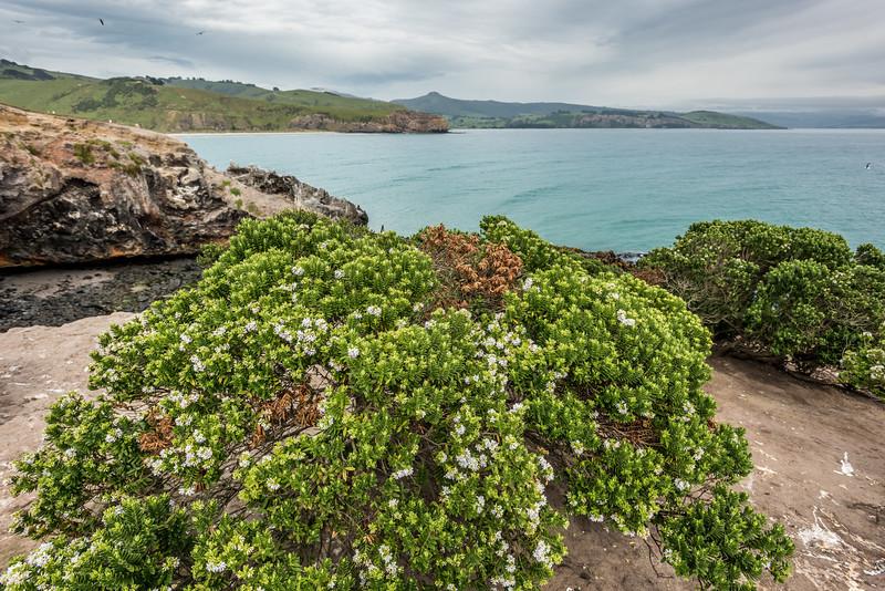 Shore hebe / kōkōmuka (Veronica elliptica). Heyward Point, Dunedin.