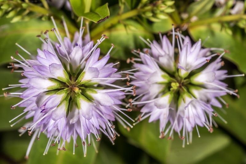 Veronica insularis. Dunedin Botanic Garden.