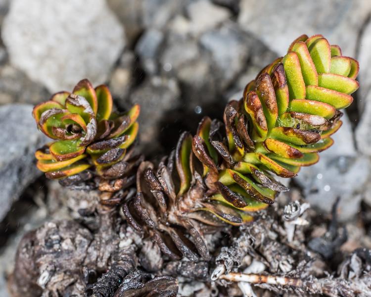 Veronica macrocalyx var. humilis. Mount Arthur, Kahurangi National Park.