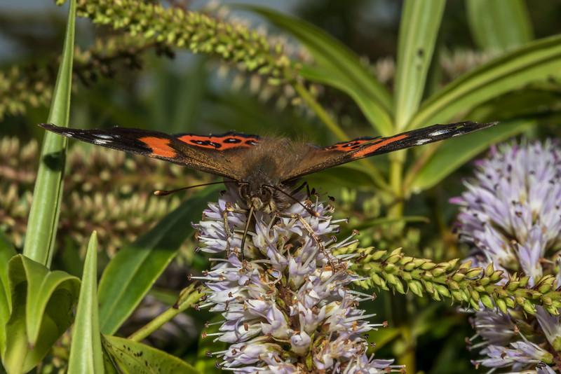 Red admiral butterfly / kahukura (Vanessa gonerilla) on koromiko (Veronica salicifolia). Mount Charles, Otago Peninsula