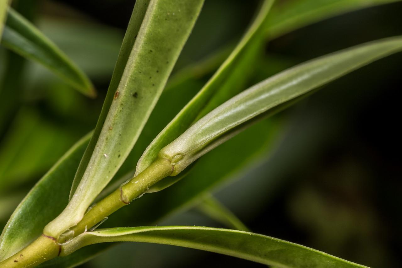 Koromiko (Veronica salicifolia). Leith Saddle Track, Dunedin.