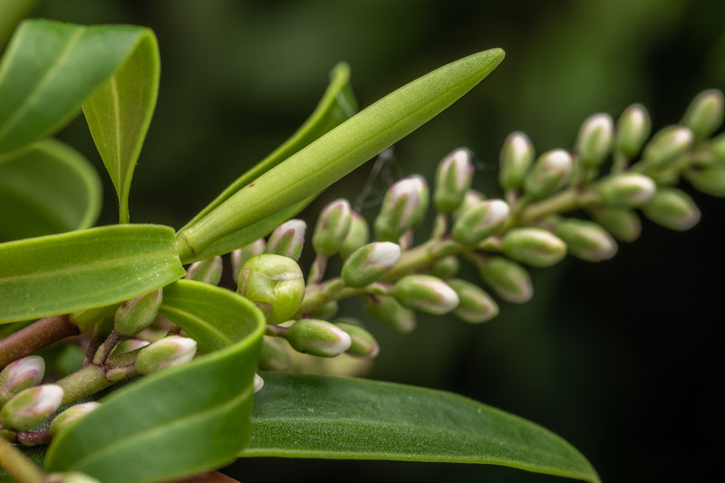 Banks Peninsula hebe (Veronica strictissima). Travis Wetland, Christchurch.