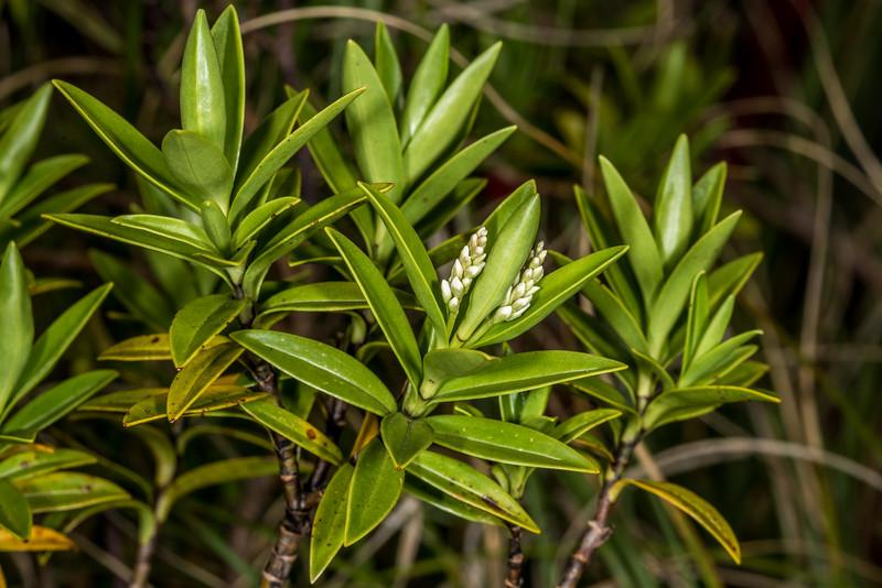 Mountain koromiko (Veronica subalpina). Gertrude Valley, Fiordland National Park.