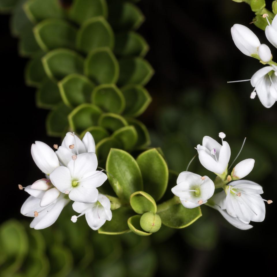 Veronica vernicosa. Dunedin Botanic Garden.