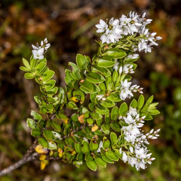 Veronica vernicosa. Mount Arthur Track, Kahurangi National Park.