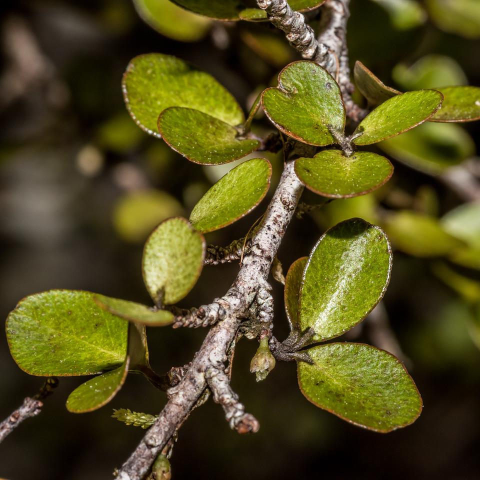 Weeping māpou / matipou (Myrsine divaricata). MacPherson Creek, South Westland.