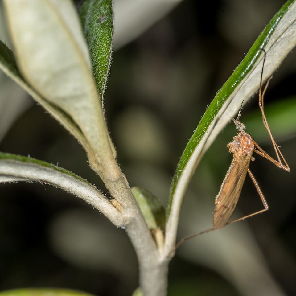 Crane fly (Family Limoniidae) on whakataka (Corokia macrocarpa), cultivated. Opoho, Dunedin.