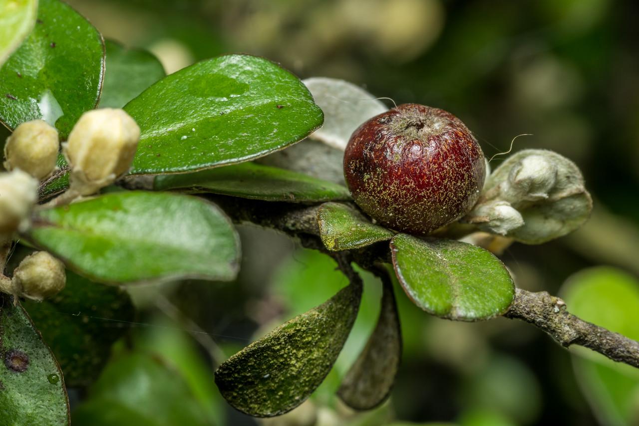 Whakataka (Corokia macrocarpa), cultivated. Opoho, Dunedin.