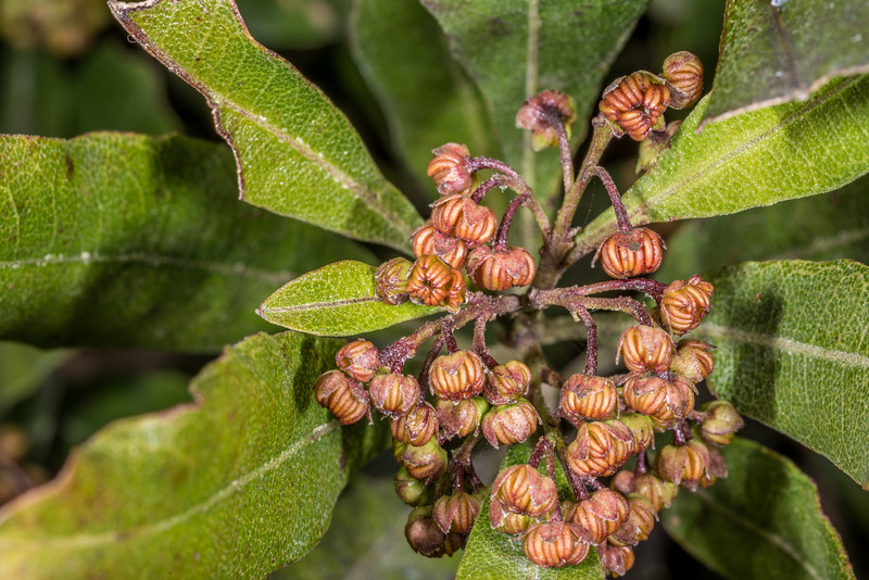 Akeake or akerautangi (Dodonaea viscosa). Travis Wetland, Christchurch.