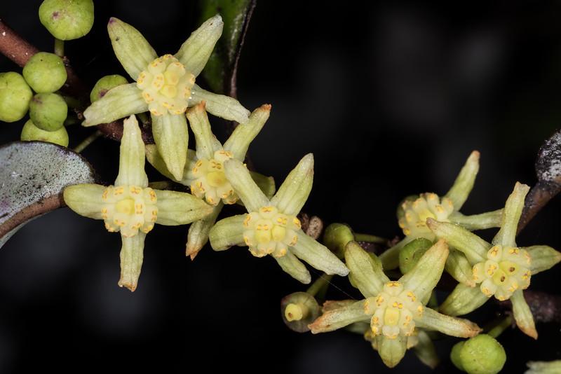 Alpine pepper tree or red horopito (Pseudowintera colorata) flowers. Panekiri Range, Lake Waikaremoana Track, Te Urewera National Park.