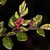 Black beech (Fuscospora solandri). Gouland Downs Hut, Heaphy Track, Kahurangi National Park.