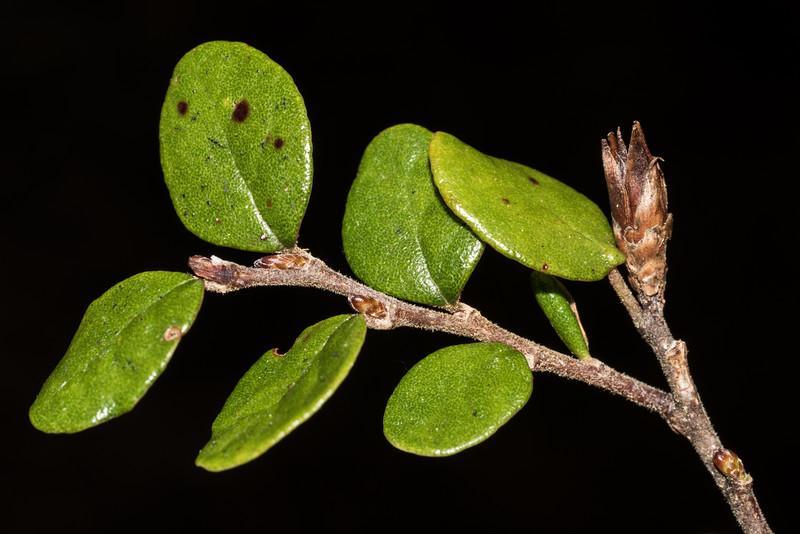 Black beech (Fuscospora solandri). Waiopaoa Stream, Lake Waikaremoana