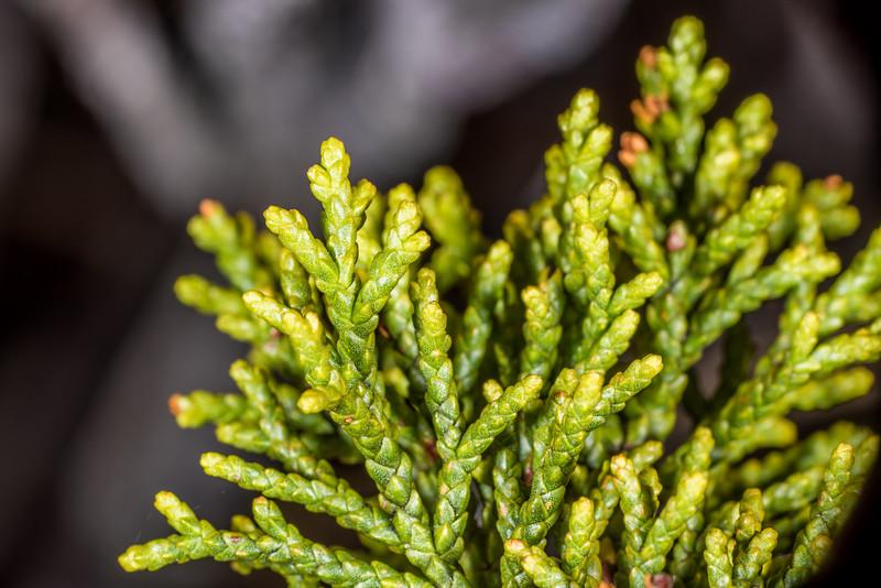 Bog pine (Halocarpus bidwillii). Arena Creek, Kahurangi National Park.