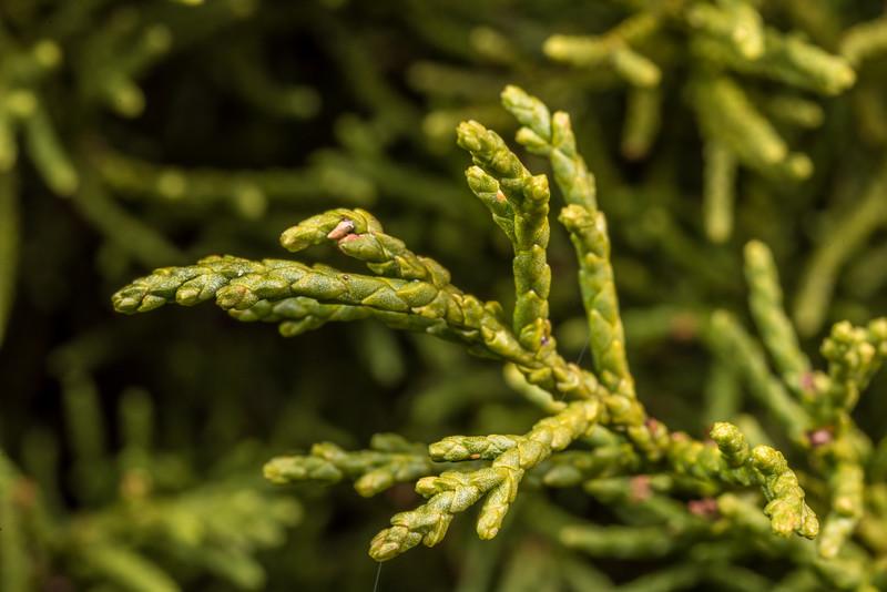 Bog pine (Halocarpus bidwillii). Saxon Hut, Heaphy Track, Kahurangi National Park.