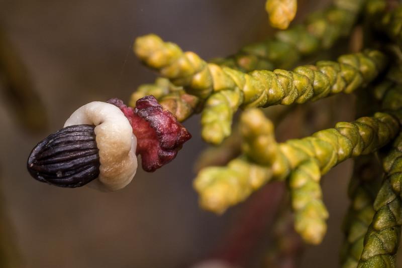 Bog pine (Halocarpus bidwillii) mature fruit. Gouland Downs, Heaphy Track, Kahurangi National Park.