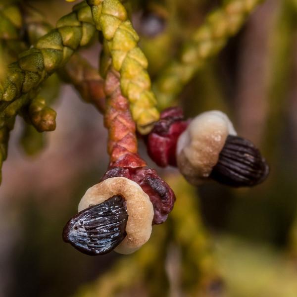 Bog pine (Halocarpus bidwillii). Gouland Downs, Heaphy Track, Kahurangi National Park.