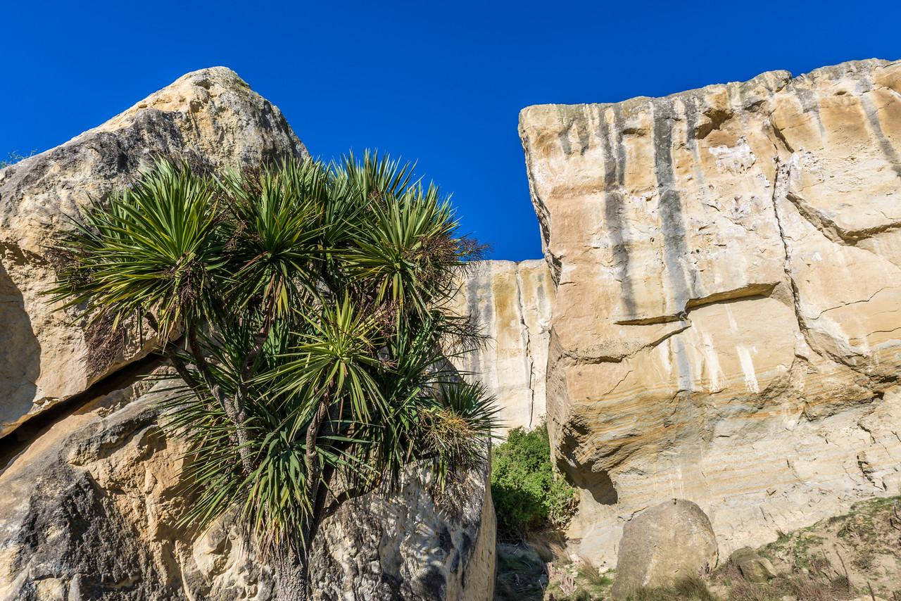 Cabbage tree / tī kōuka (Cordyline australis). Earthquakes, North Otago