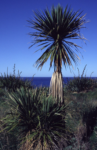 Cabbage tree (Cordyline australis). Boulder Beach, Otago Peninsula